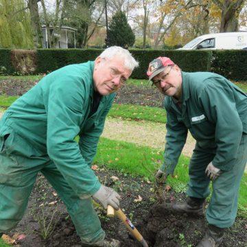 Driehonderd nieuwe rozen voor het Hengelose Prins Bernhardplantsoen