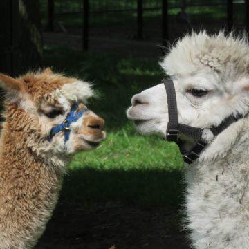 Nieuwe alpaca's en een geboortegolf op Kinderboerderij 't Weusthag