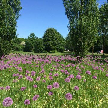 Sieruien en camassia's staan in Hengelose wijken prachtig in bloei