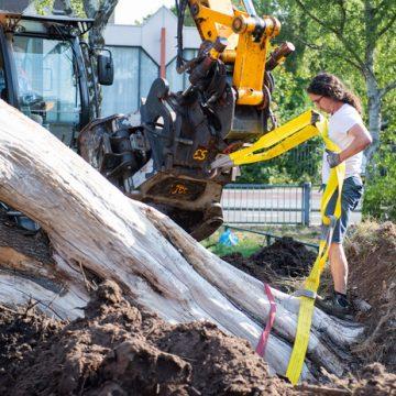 150 jaar oude eik verplaatst naar theaterterrein van Stork in Hengelo