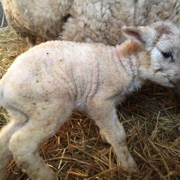 Lammetje geboren op Hengelose Kinderboerderij het Weusthag
