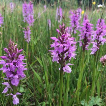 Gildebor voert speciaal maaibeheer voor Hengelose orchideeën