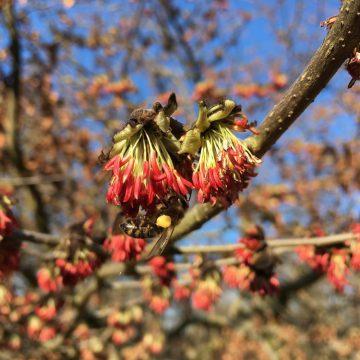 Voorjaarsbloei Perzisch IJzerhout: goed voor de bijen!